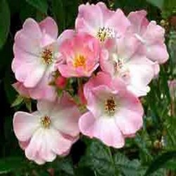 ROSIER APPLE BLOSSOM