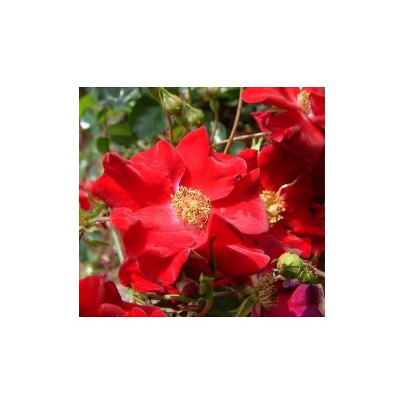 rosier vesuvia