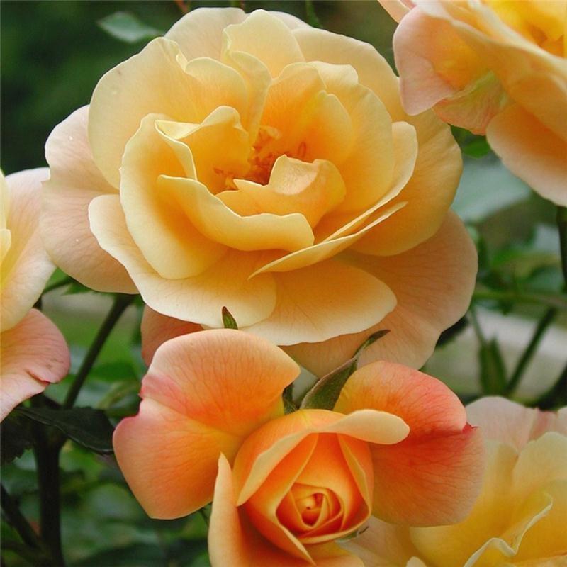 Rosier calizia for Decoration jardin rosier