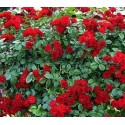 ROSIER SCARLET MEILLANDECOR