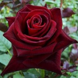 ROSIER BLACK BACCARA