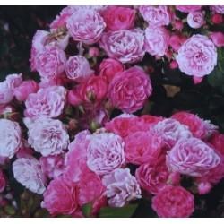 ROSIER PINK FLORILAND (couvre sol (épuisé)