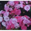ROSIER PINK FLORILAND (couvre sol