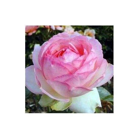 ROSIER ROSE OPTIMISTE ***
