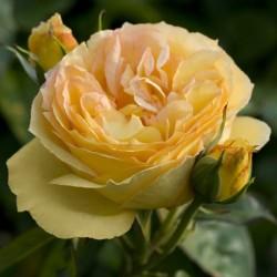ROSIER TIGE SUNNY ROMANTICA
