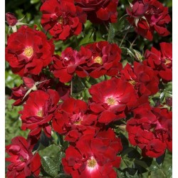 ROSIER MAINAUFEUER (couvre sol)