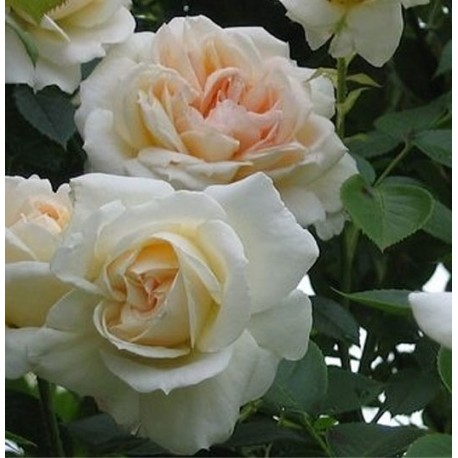 Rosier Jardins De Bagatelle  Meimafris 2908