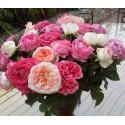 COLLECTION de trois rosiers nouveautés promotion