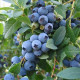 Myrtiller VACCINIUM CORYMBOSUM 'Bluecrop'
