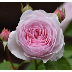 OLIVIA ROSE (austin)