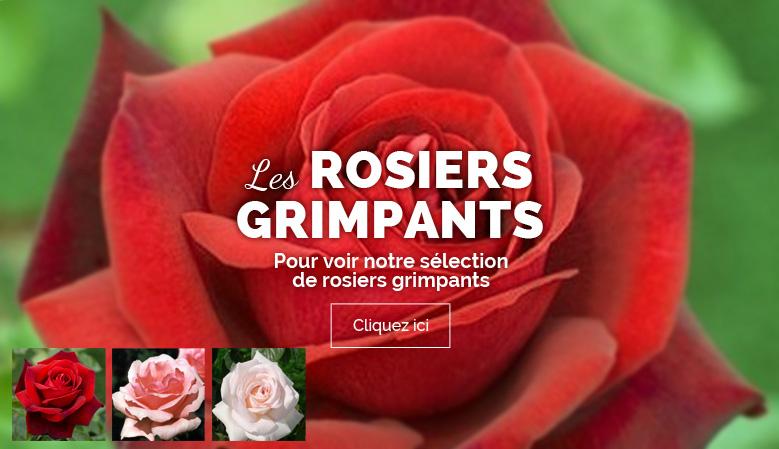 rosiers grimpants